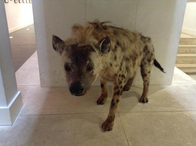 Our ice-age Hyena!