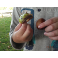 The conker shell