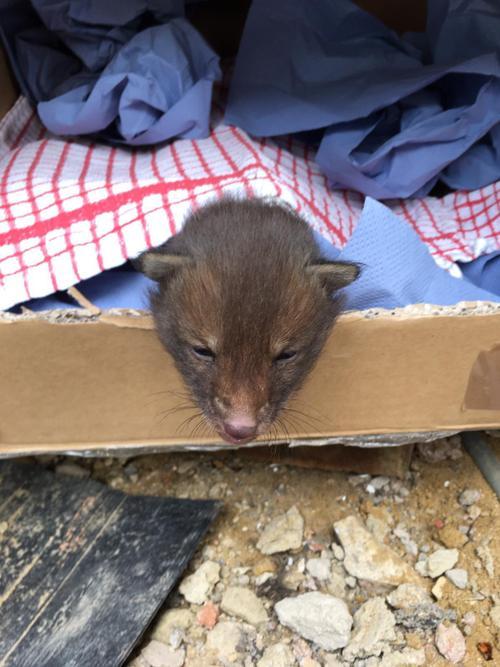 McKenzie found fox cubs under his house!