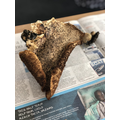 Chicken of the Woods - Mushroom found on trees