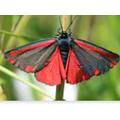 A Cinnebar butterfly by Chloe