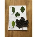 Sienna's leaf collection