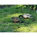 Lily's Mallard ducks