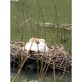 Lovely swan on its nest Harvey