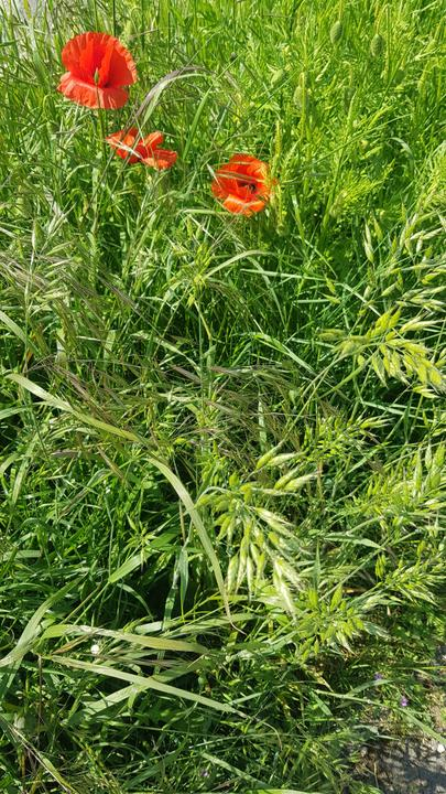Poppies -official flower for the military child