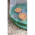 Juicy oranges for the butterflies at Mrs Sondh's
