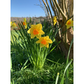 23.03.20. Daffodil by Mrs Feeley