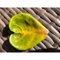 Lola Heart leaf