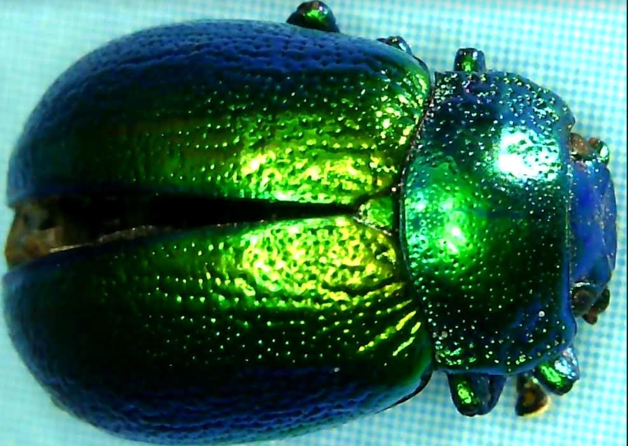 Don't worry, this tansy beetle was found dead.