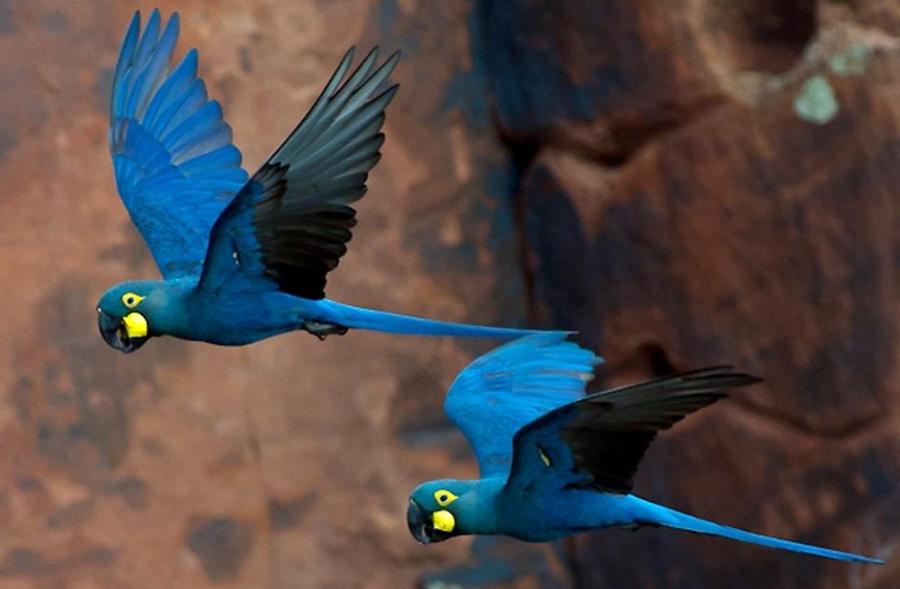 Blue macaws.  Very definitely not a British bird!