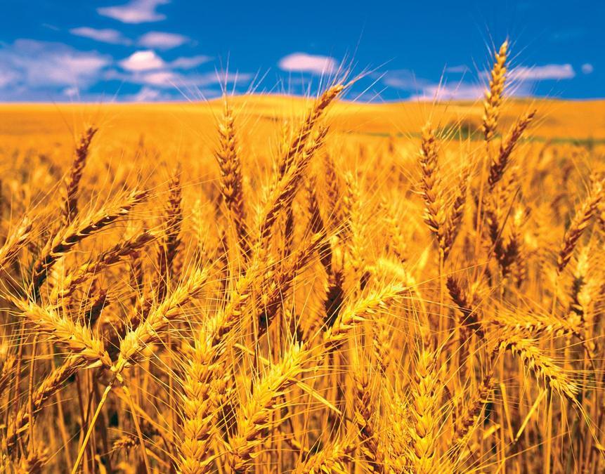 Wheat (ground into flour)