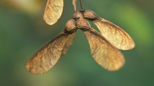 Sycamore seeds spin down like tiny helicopters.