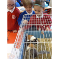Meeting the Guinea pigs.