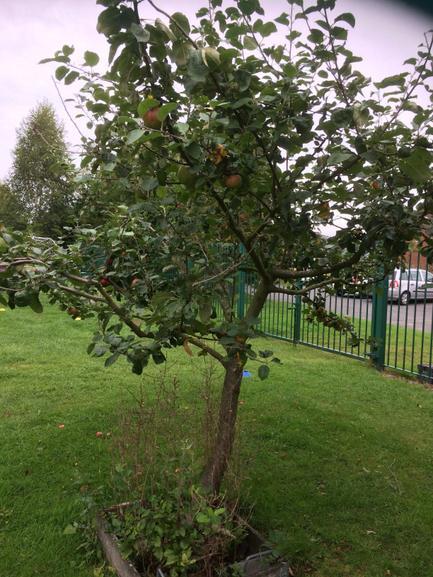 The apple tree in September