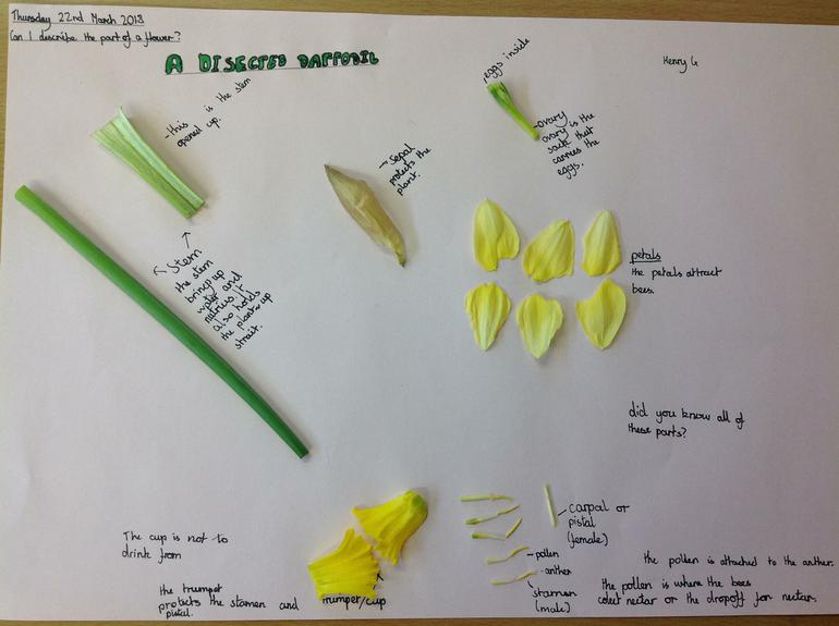 Dissecting a daffodil as part of our science.