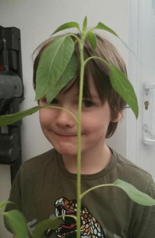 Dexter's sunflower is growing well!