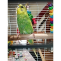 LCo in 3MN New Pet Budgie Fin