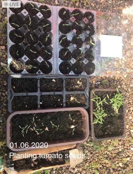 AA planting tomatoes