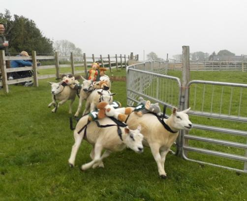Our Sheep Race raised over £3,000 for the school