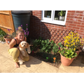 Mrs Taylor has been gardening with Peanut's help!