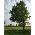 You can see where there used to be a willow tree next to this oak!