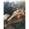 The calves have a new salt lick to enjoy in the shed.