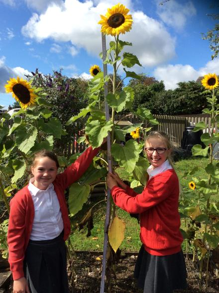 Measuring the sunflowers