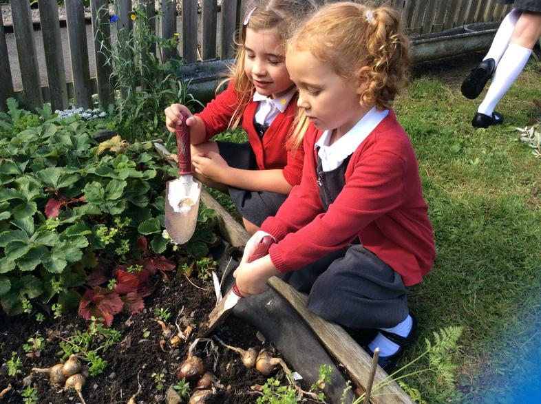 Children from Year 1 tending to the potatoes