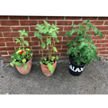 Tomatoes and edible flowers (Nasturtiums)