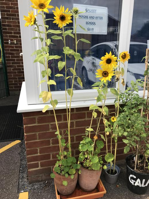Look at our sunflowers! They have grown so much.