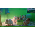 Chicks hatch in Reception
