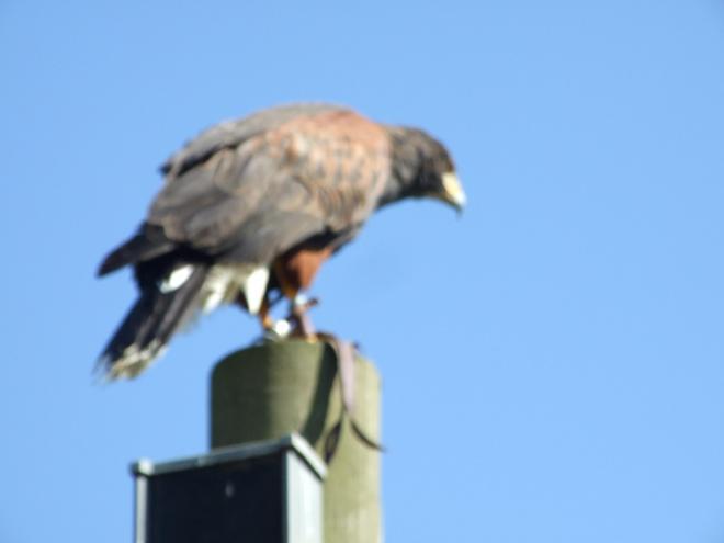 Harris Hawk - the only hawks that hunt in packs!