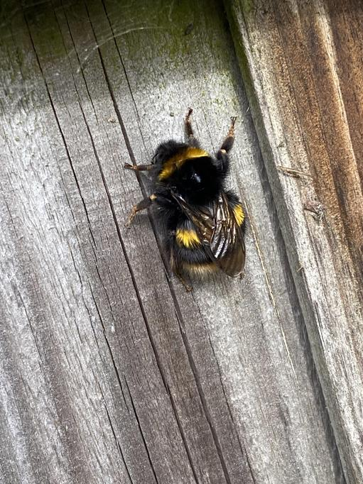 A big Early Bumble Bee