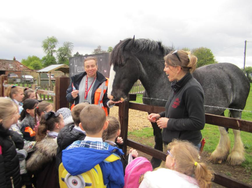 Meeting Hattie, one of only 2000 shire horses