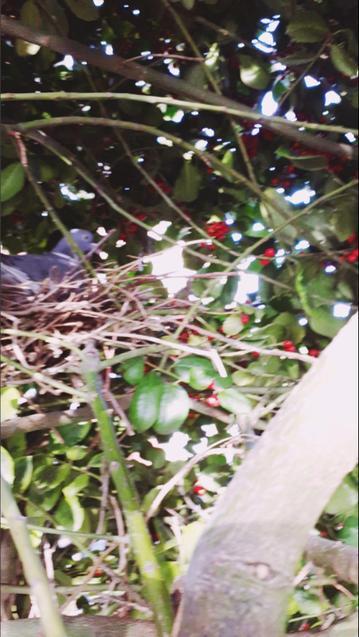 Zoe has a pigeon nesting in her garden.