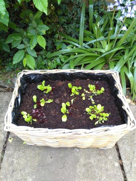Lettuce plants in a basket