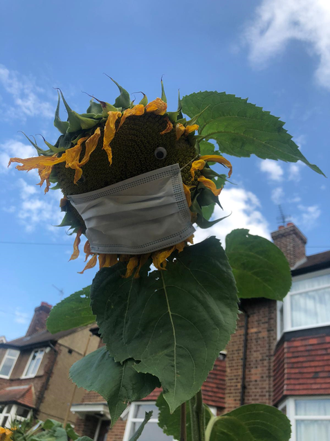 This sunflower is wearing its mask.