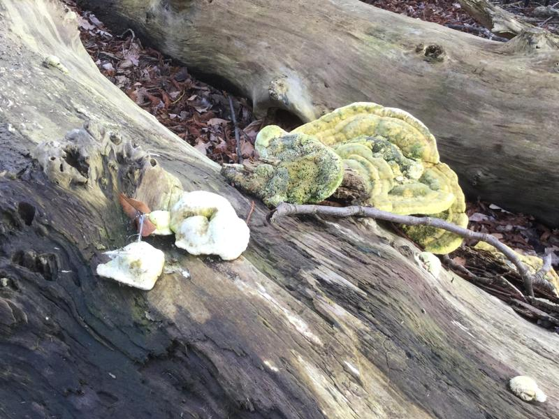 This is fungus growing on a dead tree