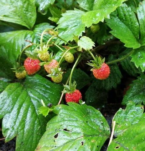 Some tiny strawberries.