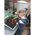 Finley planting