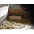 The piggery was very smelly!
