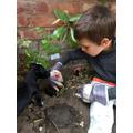 Cipriano planting a tomato plant