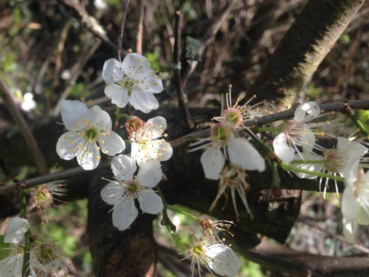 Cherry blossom is loved by bees