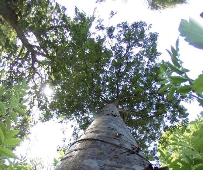 Rowan Canopy
