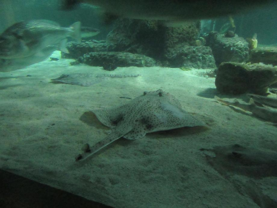 The rays suck their food off the floor of the sea.