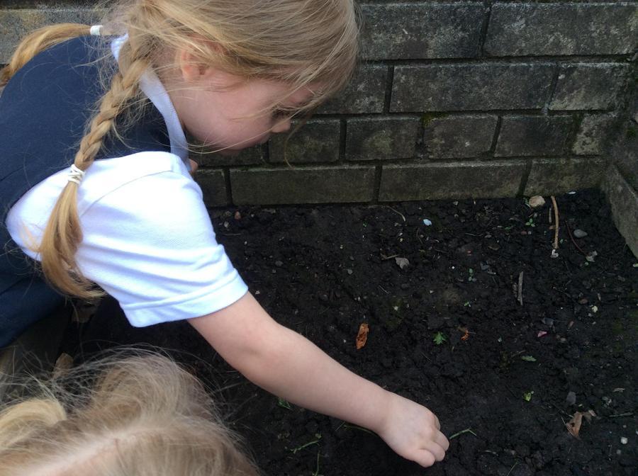 Phoebe planting her 'magic bean'.