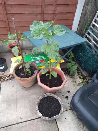 Sunflower progress