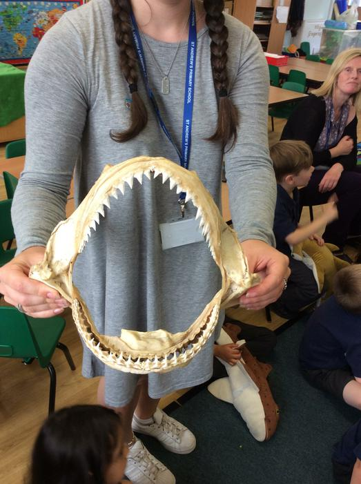 We looked carefully at shark teeth..