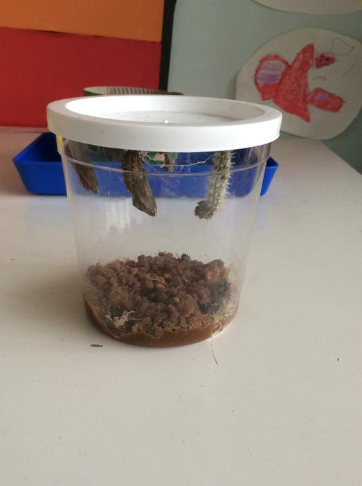 Four of the caterpillars have spun their cocoons!