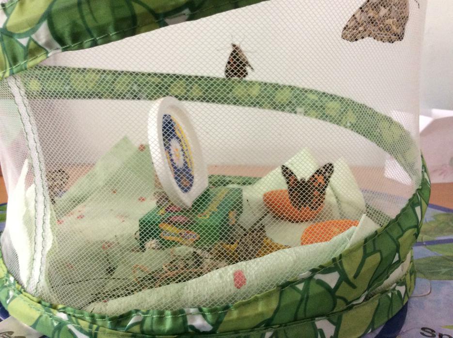 until 5 beautiful butterflies emerged!